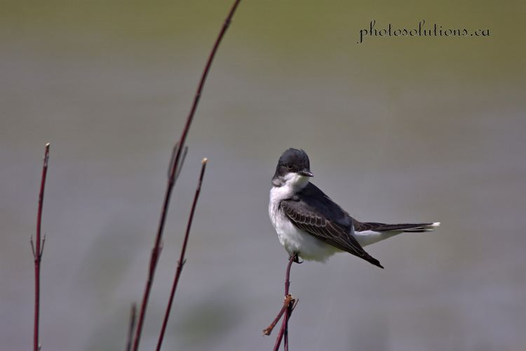Eastern Kingbird Riviera Pond cropped wm