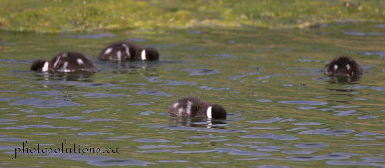 Goldeneye babies learning to look for food