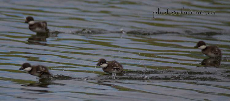 Goldeneye babies learning to run away