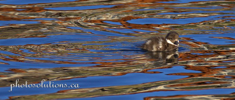 Goldeneye baby watercolor from sunset cropped wm