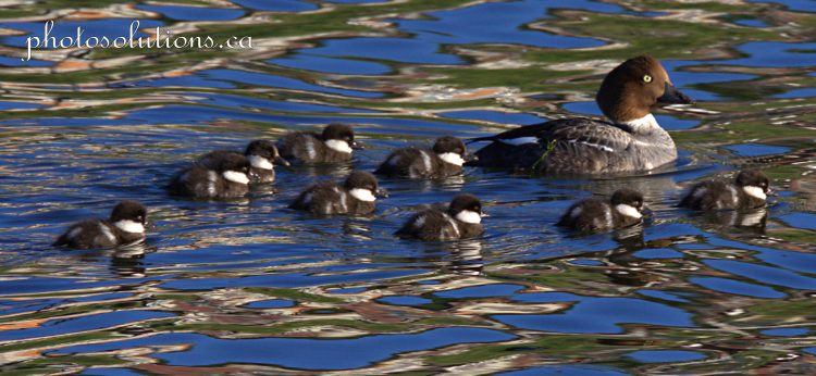 Goldeneye mom and 9 babies Riviera Pond cropped wm