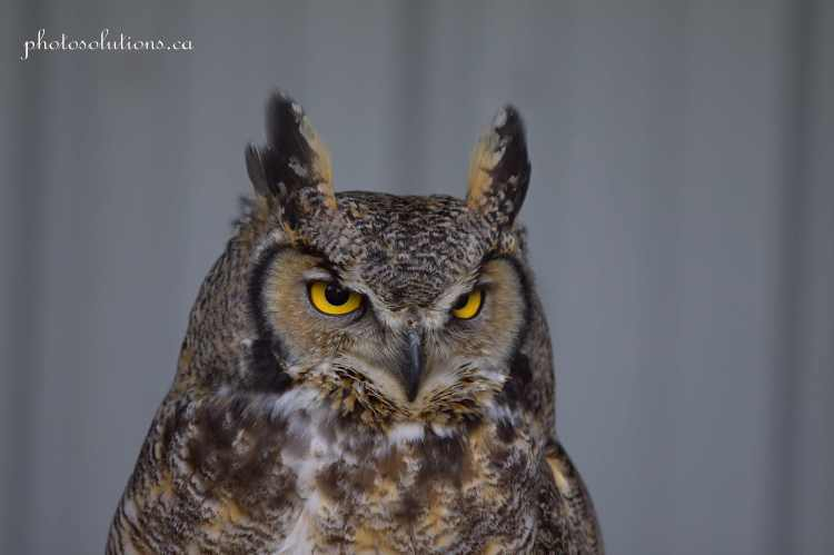 Great horned staredown BOP