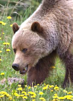 Grizzly Highway 40 sideways head shot cropped wm