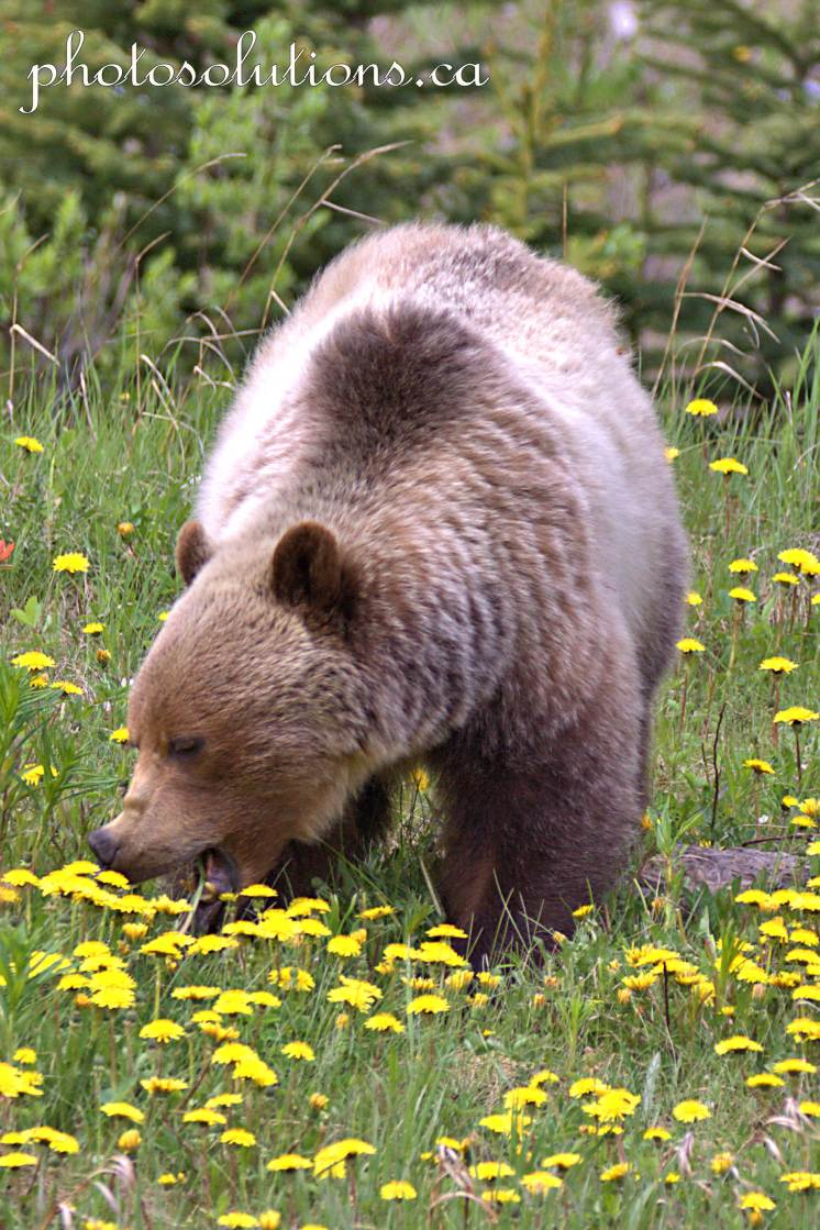 Grizzly Highway 40 taking a bite cropped wm