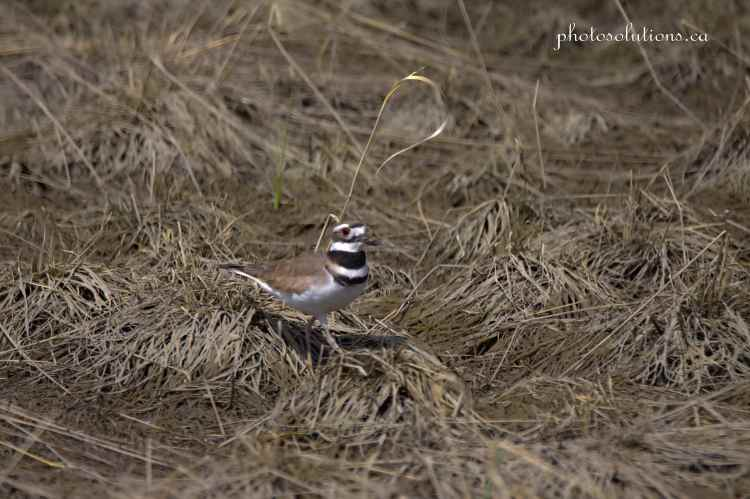 Killdeer at Riviera Pond 2