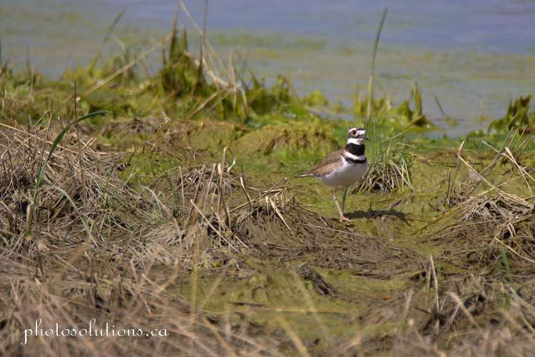 Killdeer at Riviera Pond