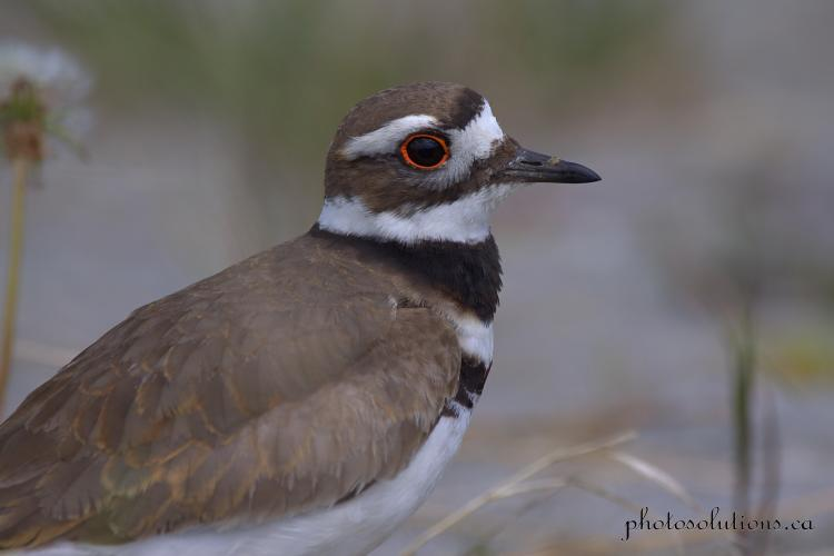 Killdeer head shot cropped wm