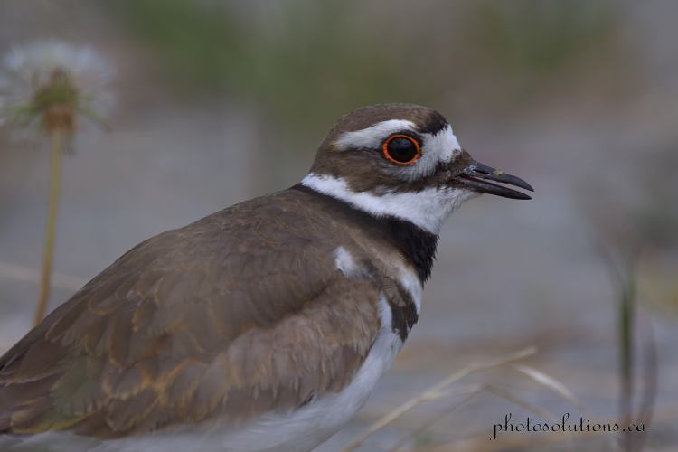 Killdeer head shot singing