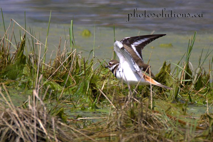 Killdeer Riviera Pond flying away