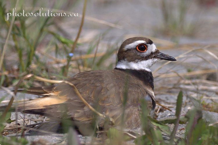 Killdeer Riviera pond sitting down cropped wmjpg