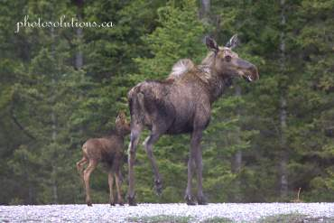 Moose mom and baby Spray Lakes cropped wm