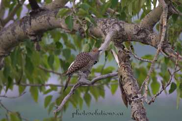 Northern Flicker Riviera on Bow River wm