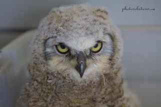 Orphaned Great Horned Owlet BOP