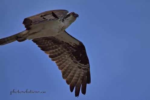 Osprey in flight cropped wm