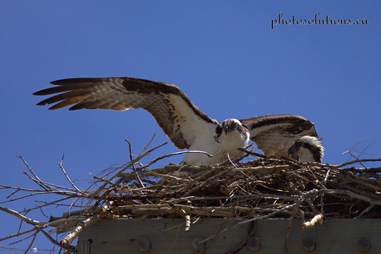 Osprey male bringing fish to female on nest cropped wm