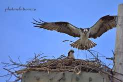 Osprey male bringing nest supplies cropped wm