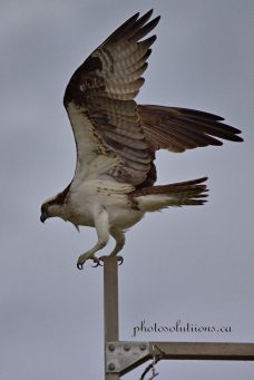 Osprey male on nest post wings up cropped wm