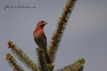 Pine Grosbeak Riviera Pond cropped wmjpg