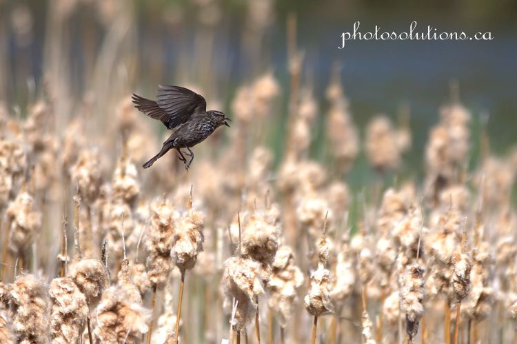 Red Wing Blackbird female at the pond in flight cropped wm