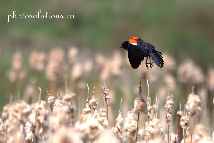 Red Wing Blackbird male at the pond in flight cropped wm