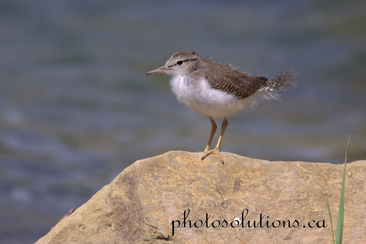 Sandpiper baby cropped wm