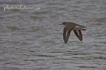 Sandpiper in flight bow river cropped wm