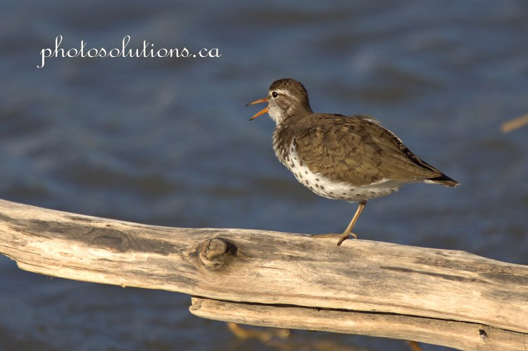 Sandpiper singing on bow river cropped wm