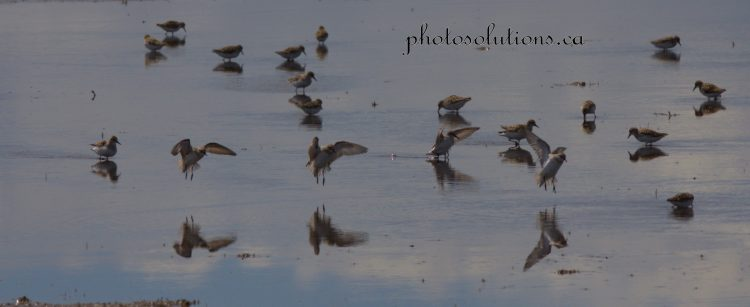 Sandpipers landing on Airdrie pond
