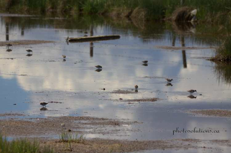 Sandpipers young Airdrie pond