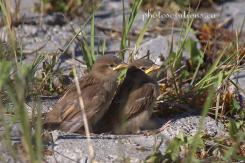 Sparrow - House babies Riviera Pond 2 cropped wm