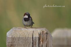 Sparrow-House dad keeping watchful eye cropped wm