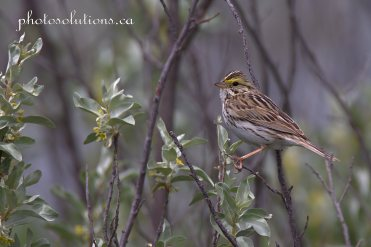 Sparrow - Savanah Riviera path to Bow River