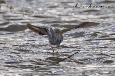 Spotted Sandpiper landing on the Bow cropped wm