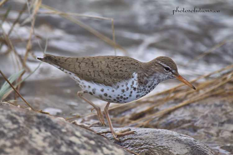 Spotted Sandpiper walking along the Bow shoreline rocks wm