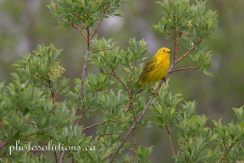 Yellow Warbler Riviera path to Bow River cropped wm