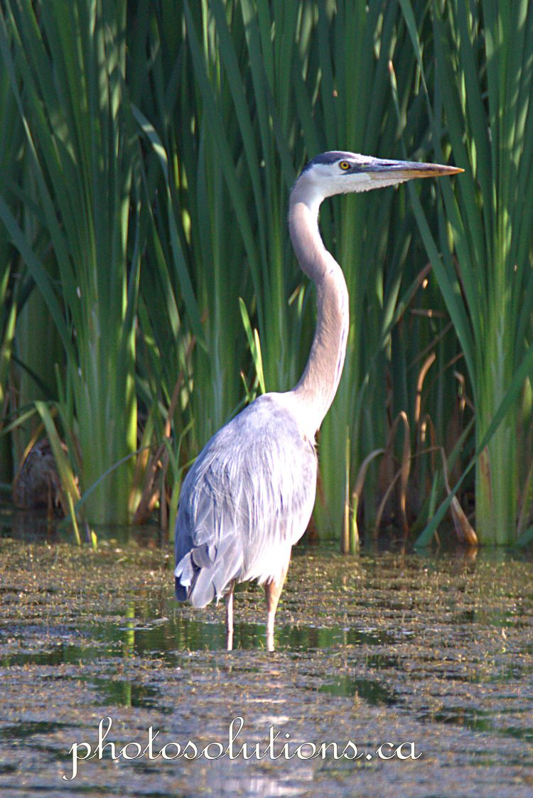 Blue Heron 22 cropped wm