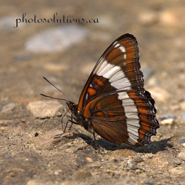 Butterfly Black BHSP cropped wm