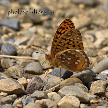 Butterfly brown BHSP cropped square wm