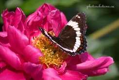 Butterfly Deb garden cropped wm