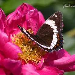 Butterfly Deb garden cropped wm