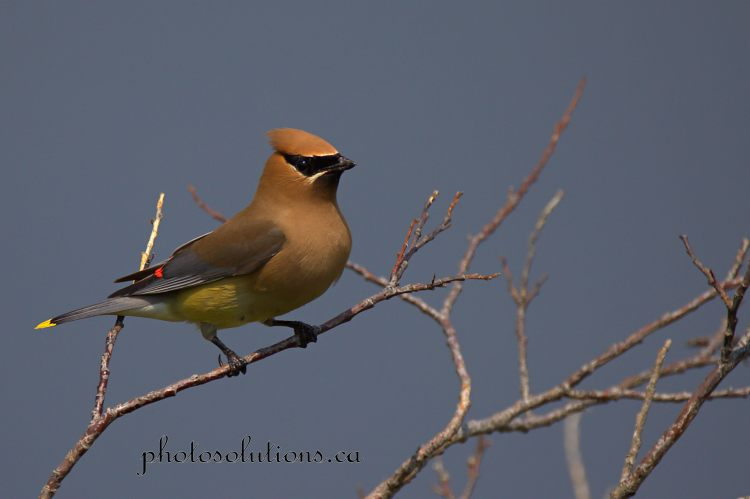 Cedar Waxwing in trees OS cropped wm