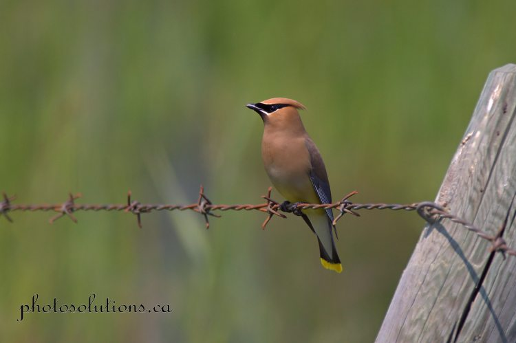 Cedar Waxwing on Barbwire cropped wm