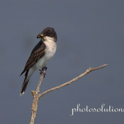 Eastern Kingbird with bee cropped wm