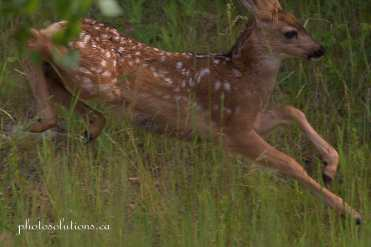 Fawn racing in back yard 2 cropped wm