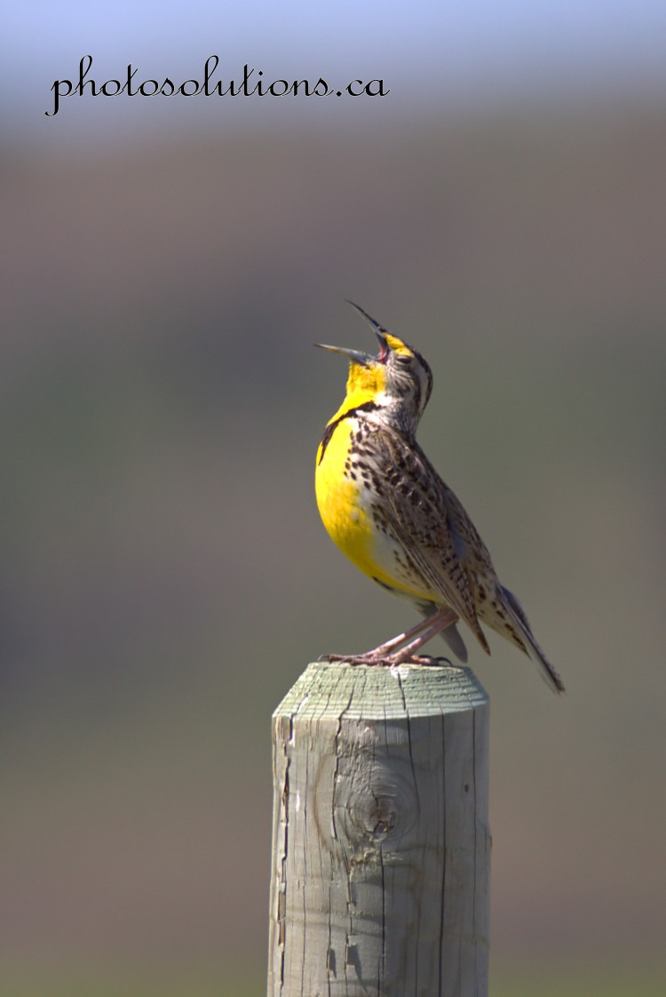 Meadowlark Wild Cat Hills singing eyes closed cropped wm