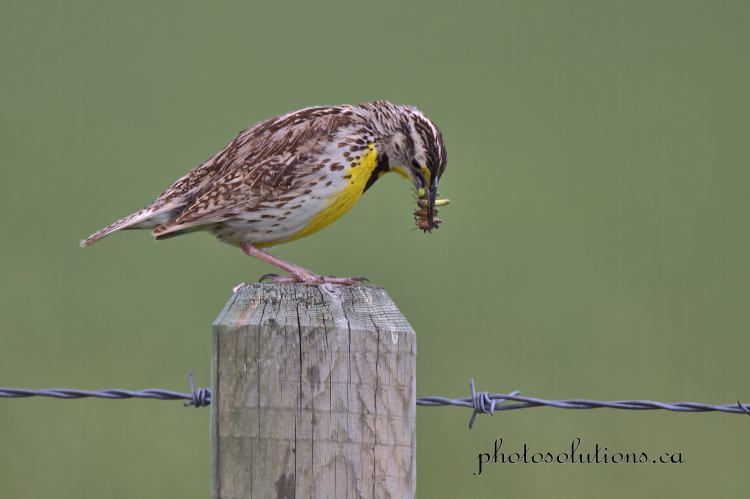 Meadowlark with mouthful 2 GVR cropped wm