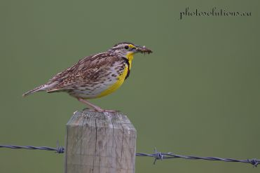 Meadowlark with mouthful GVR cropped wm