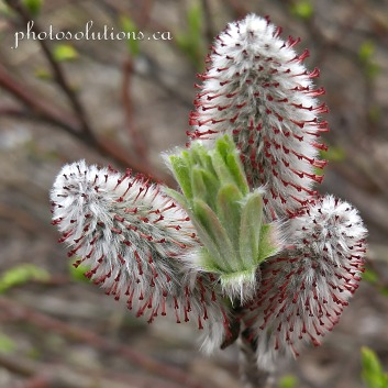 Plant at Highwood Pass cropped square wm