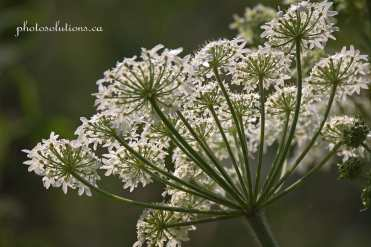 Queen Annes Lace wildflower cropped wm