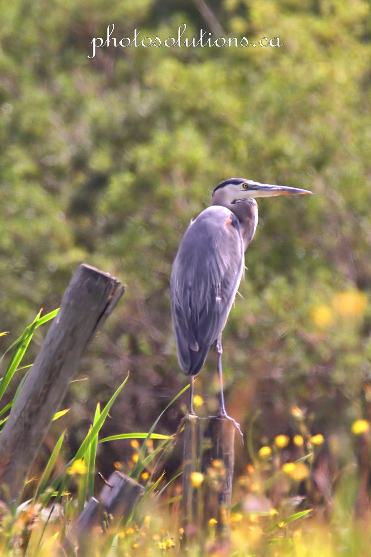Blue heron first spotted on fencepost on 22 cropped wm